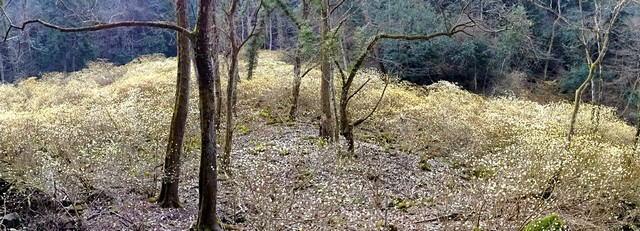 安芸高田市 ミツマタ群生地 俯瞰写真