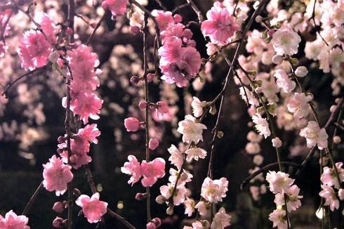縮景園の夜桜