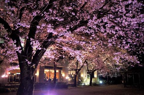 縮景園、夜桜特別開園