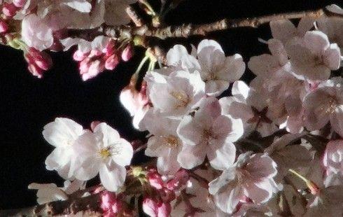 広島・縮景園の夜桜の風景