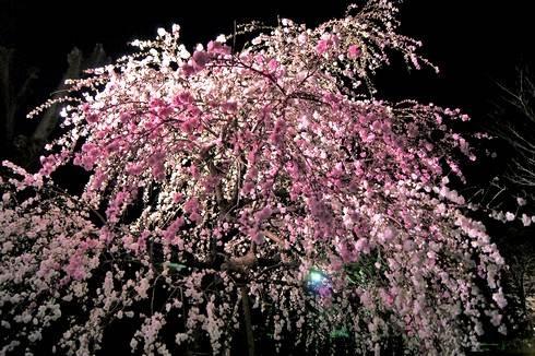 縮景園の夜桜が美しい、大人のデートに最適な夜のお花見