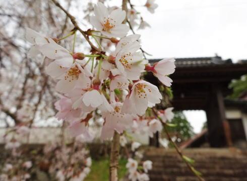 三次市 鳳源寺入口の枝垂桜2
