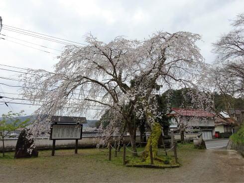 三次市 鳳源寺の枝垂桜 画像2