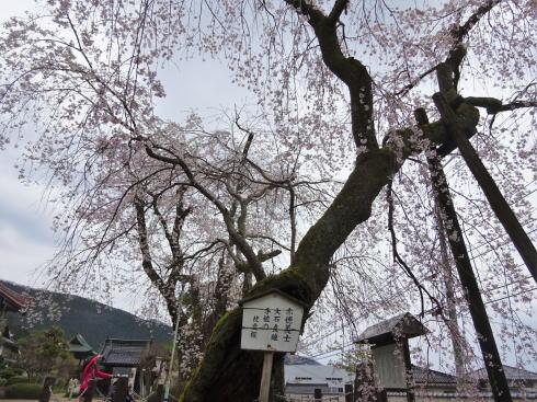 大石内蔵助が植えた枝垂桜、三次市 鳳源寺で美しく