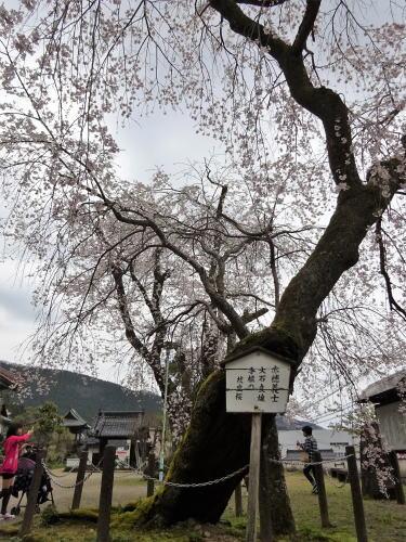 三次市 鳳源寺の枝垂桜