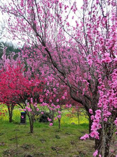庄原市の児玉庭 花桃