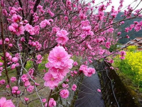 庄原市の児玉庭 花桃2