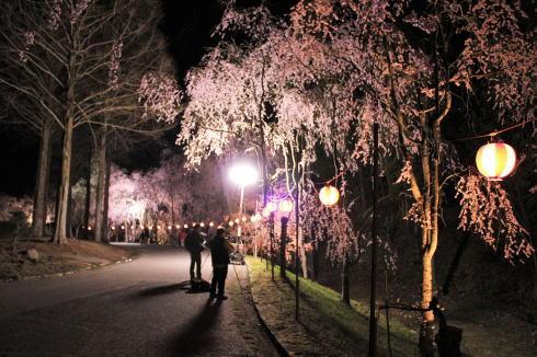 世羅 甲山ふれあいの里 しだれ桜並木の様子5