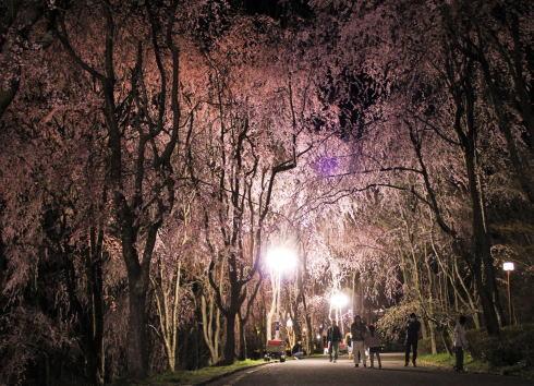 世羅 甲山ふれあいの里 しだれ桜並木の様子2