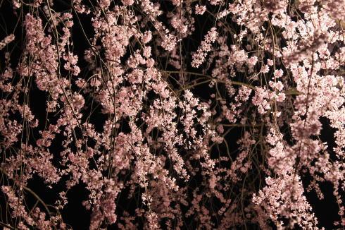 世羅 甲山ふれあいの里 しだれ桜 画像1