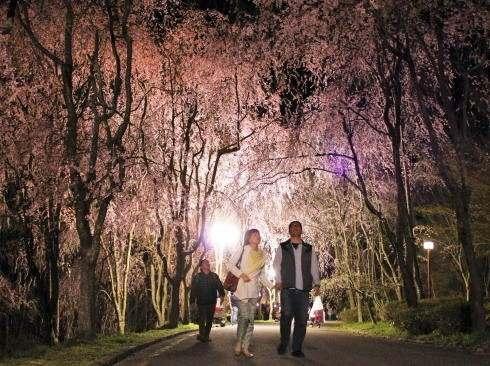しだれ桜の名所・世羅 甲山ふれあいの里で、夜桜ライトアップ