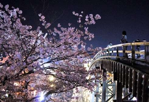 錦帯橋の夜桜、3000本の桜と風景が織りなす絶景