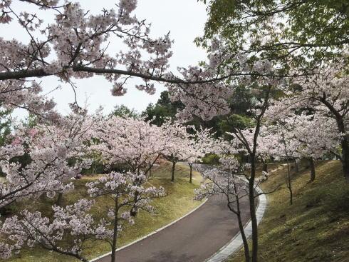 広島市森林公園 桜並木2