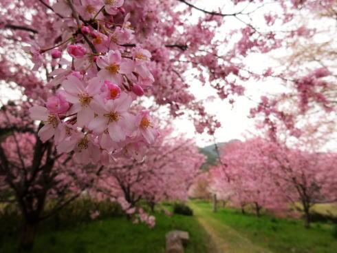 蘇羅比古神社 桜並木