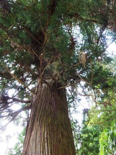蘇羅比古神社 大杉3