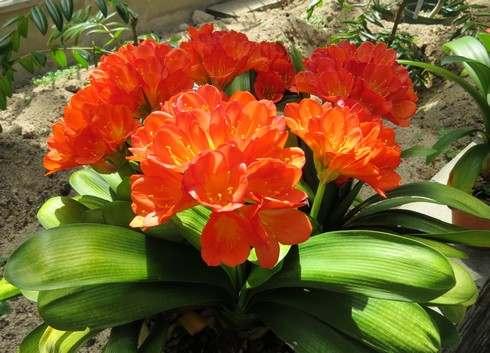 オレンジ色のシャクナゲ