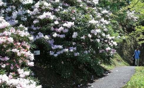 白いシャクナゲ、広島市 花みどり公園