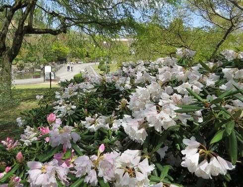 花みどり公園のシャクナゲが満開
