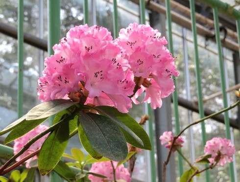 広島市・花みどり公園で、シャクナゲが見頃に
