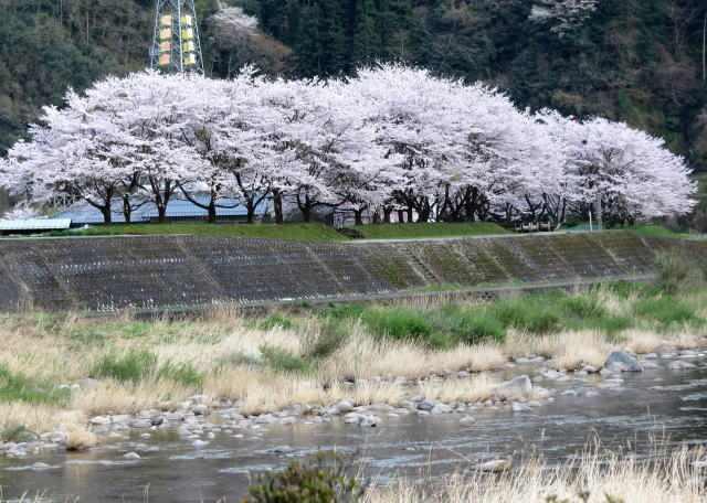 安芸太田町 附地の桜並木 全景