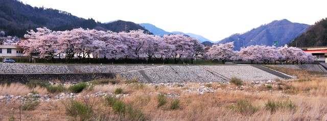 上殿さくら公園、安芸太田町の桜