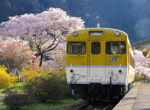 安野「花の駅公園」の桜が満開、広島の元JR駅が花園に