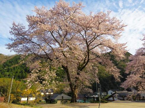 安野花の駅公園 桜の風景