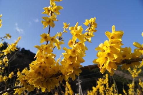 安野花の駅公園 レンギョウの花