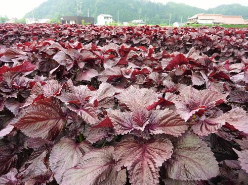 北広島町 ゆかりの 赤しそ畑 画像1