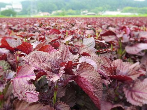 北広島町 ゆかりの 赤しそ畑 画像4