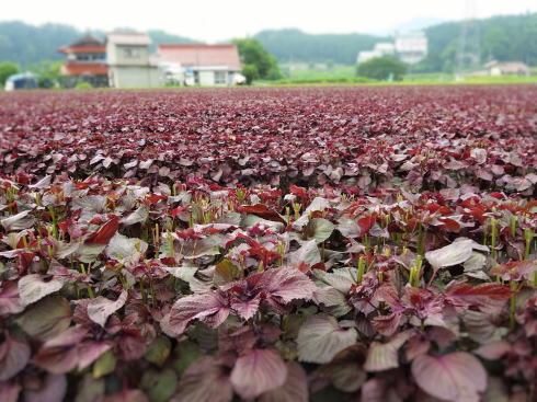 北広島町 ゆかりの 赤しそ畑 画像3