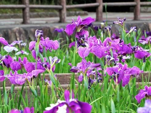 春日池公園の菖蒲園が見頃、福山市の美しい公園