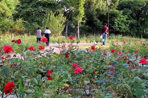 春日池公園のばら園