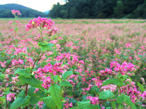 北広島町 赤そばの里、八幡高原を真赤に染める花畑
