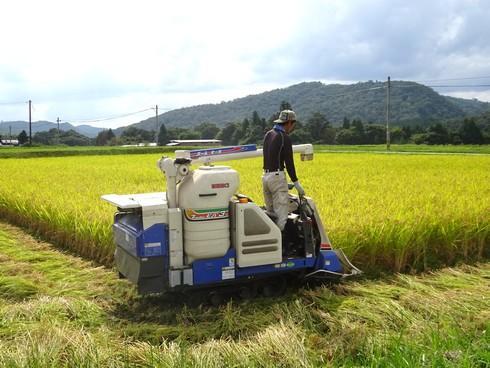 たわわに実った田んぼの稲刈り、コンバインで気持ちよく刈っていく秋の風景