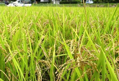 田んぼの稲刈り、コンバインで