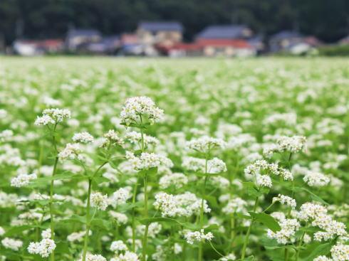 そばの花が満開へ、三次市君田 秋の風景
