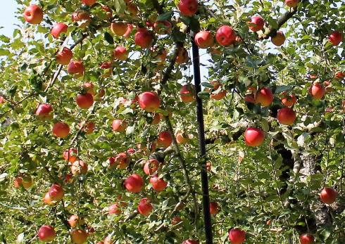 庄原市高野 アップルロードでみたりんご2