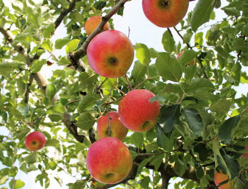 赤く実ったりんごの木がズラリ!庄原市高野のアップルロード