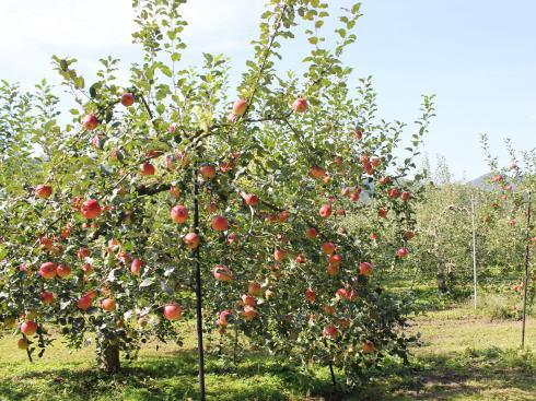 庄原市高野 アップルロードでみたりんご