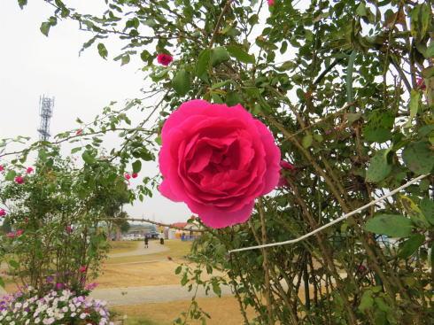 福山市 富谷ドームランドのバラ