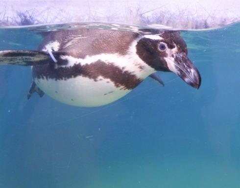 福山市立動物園 ペンギンの画像