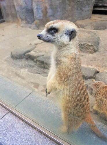福山市立動物園 ミーアキャット