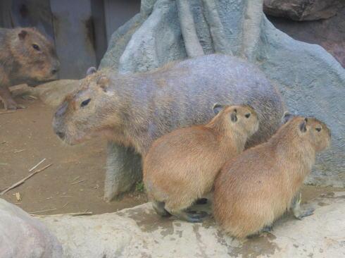 福山市立動物園 カピバラ