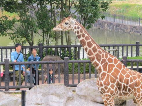 福山市立動物園 キリン