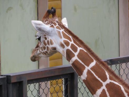 福山市立動物園 キリン2