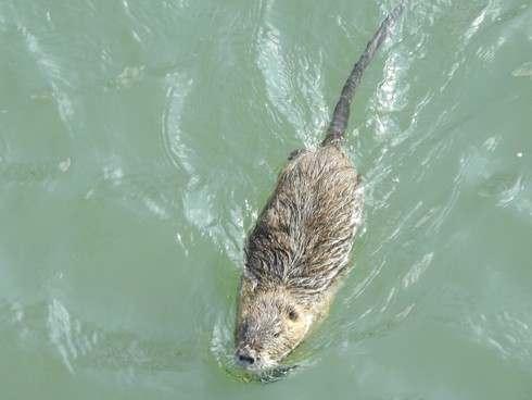 カピバラそっくり!ヌートリアが福山の川を泳ぐ風景
