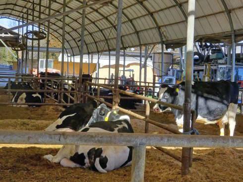 東広島市 トムミルクファーム 牛さんたち