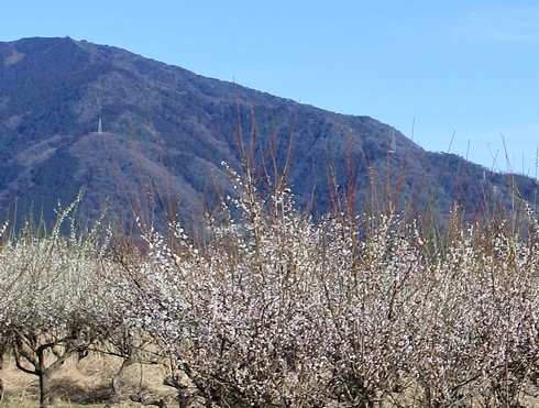 JRあき亀山駅の周りには梅の木が