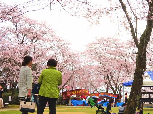 広島県三次市に1000本の桜、三次さくら祭ライトアップも